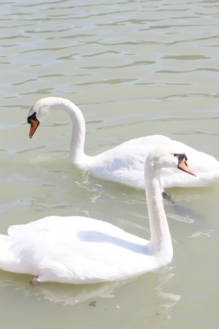 Versailles Garden Swans